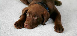 Chocolate Labrador Retriever Puppy On Clean Carpet